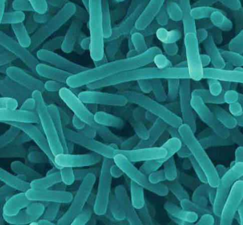 Listeria Bacteria